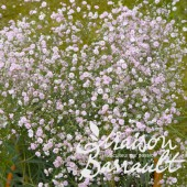 Gypsophile paniculé 'Flamingo' rose
